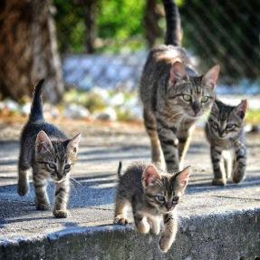 Hasil gambar untuk kucing kampung