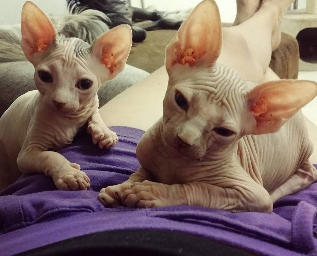 Sphinx Cat Kucing TheProject