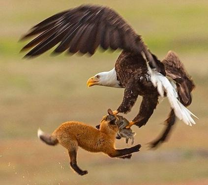 eagle fox.jpg