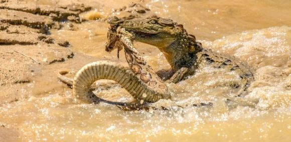 PAY-CROC-AND-SNAKE-BATTLE (6)