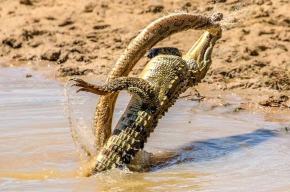 PAY-CROC-AND-SNAKE-BATTLE